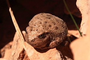 A plump canyon tree frog, sunning on rocks