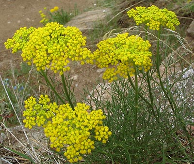 Whiskbroom Parsley (Harbouria trachypleura)
