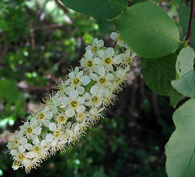 Chokecherry (Padus virginiana)