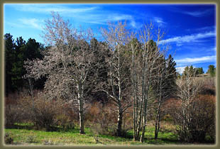 Aspen trees budding out along South Branch Crow Creek