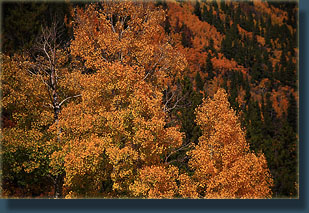 Fall aspen color