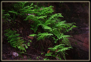 Ferns in Hidden Canyon