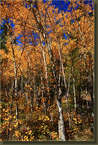 Fall turns the aspen leaves gold in Rocky Mountain National Park
