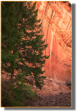 Douglas Fir in White Canyon