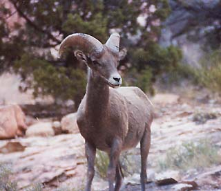 The bold young ram who chased me off