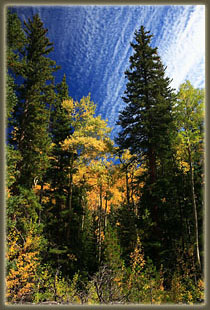 Cirrocumulous clouds over aspen and spruce